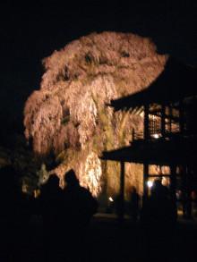 阿弥陀寺の夜桜観光スポット