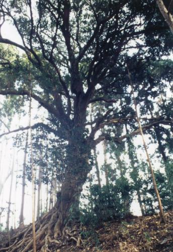 額田城跡の観光パワースポット 柊の巨木