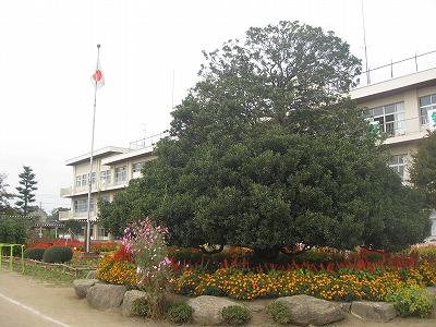 額田小学校のもちの木