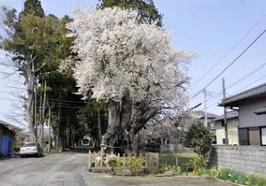 額田神社の桜
