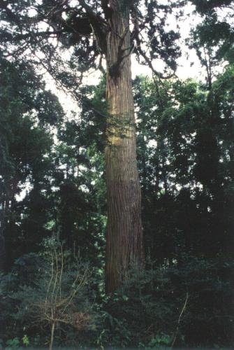 鱗勝院のパワースポットの大杉